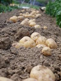 ジャガイモの収穫 - 三日おばさん