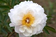ボタンの次に咲くシャクヤク☆神代植物公園 - さんじゃらっと☆blog2