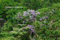 藤の花がピークに - ハーブガーデン便り
