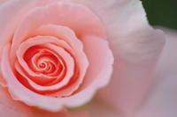 春薔薇 - tokoのblog