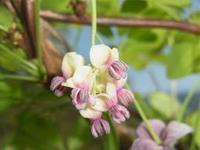 あけびと蕗 - 自然からの贈り物/草木染め
