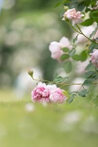 薔薇 - 一期一会