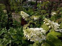 あじさい3種 - natural garden~ shueの庭いじりと日々の覚書き
