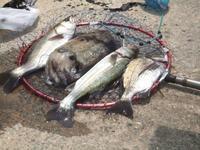 爆釣! - 76歳 車いす釣師 博多湾ピンポイント奮闘釣り日誌