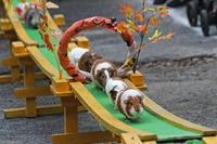 テンジクネズミのおかえり橋(智光山公園こども動物園 October 2018) - 続々・動物園ありマス。