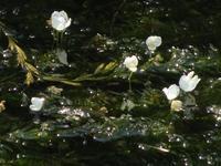 藻の花 - ネコと裏山日記