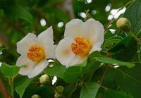6月の庭の花 - ひな日記