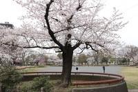 タイムスリップ4月1日桜を訪ねて3/3 - 一枚の写真