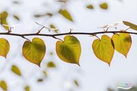 ハート型の葉っぱ - 続 いまともフォト通信
