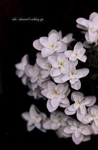 紫陽花季 - A  B  C