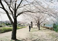 河原の桜-1- - ayumilife with kate