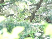 アオゲラの巣のヒナ・カルガモ親子・・・日野 - 浅川野鳥散歩