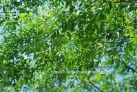 センダンの木の下で。 - ねこの目天気。