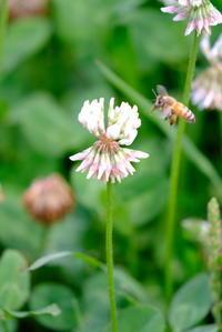 シロツメクサとミツバチ - 平凡な日々の中で