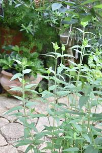 モナルダとリシマキア・ミッドナイトサン - 小さな庭 2