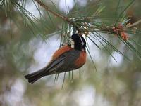 今日の鳥さん190530 - 万願寺通信