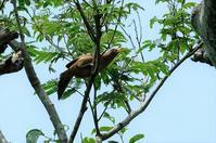 ■目に余る外来種 3種19.6.6(ガビチョウ、ウシガエル、ミシシッピアカミミガメ) - 舞岡公園の自然2