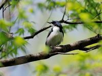 野鳥の森でコルリを撮りました - コーヒー党の野鳥と自然 パート2