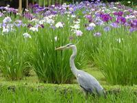 黄門様ゆかりの小石川後楽園の菖蒲が見頃ですよ♪園内のびいどろ茶寮でひとりランチしてきた♪ - ルソイの半バックパッカー旅