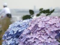 紫陽花の季節に - 一瞬をみつめて