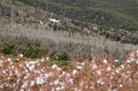 無残なアオモリトドマツの立ち枯れ(蔵王) - お山遊び