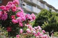 青井のバラ園EOS M3 - I LOVE Half Size Camera