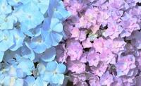 バラ園の紫陽花 - 56歳☆専業主婦やってます