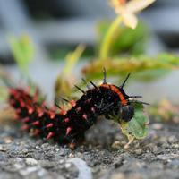 ツマグロヒョウモン幼虫がこれだ!♪ - 『私のデジタル写真眼』