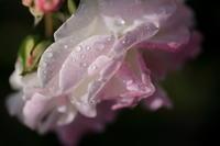 朝のバラ - MPG