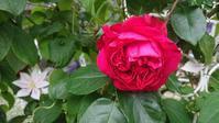 2番花待ち… - Rose & Mary