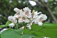 ハナキササゲが咲いていた。他、蝶とトンボも - ぶらり散歩 ~四季折々フォト日記~