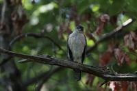 ツミ - 野鳥フレンド  撮り日記
