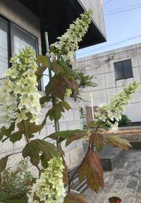 我が家のカシワバアジサイが初めて花が咲きました。 - いつとこ気まぐれブログ