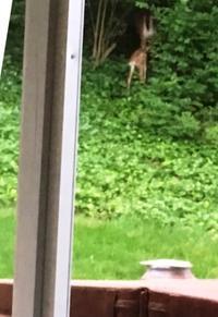裏庭に現れたバンビ - しんしな亭 in シンシナティ ブログ