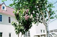 白い洋館とライラックと白樺とマンション風に耐えるツツジ - 照片画廊