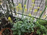 梅雨入りした日のベランダの植物達 - 青山ぱせり日記