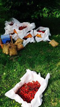 紅さやかの収穫が始まりました - 百姓の一日