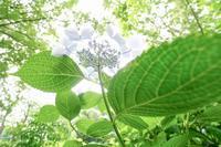 神代植物公園の紫陽花 - 柳に雪折れなし!Ⅱ