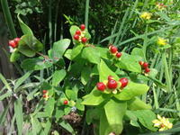 ヒペリカムの実 - だんご虫の花