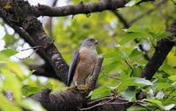 ツミに逢いにその4(残念‼エンジェルポーズは横向き) - 私の鳥撮り散歩