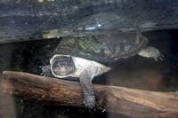 両生爬虫類館の愛らしいカメたち(上野動物園) - 続々・動物園ありマス。