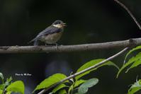 ヤマガラ幼鳥 - おおやのデジスコ散歩道
