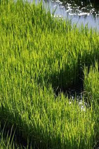 今日の都市農業公園田植え苗の緑が目に眩しい - meの写真はザンス