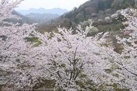 陸郷 夢農場 桜 - photograph3