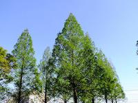 よく似た樹 - しらこばとWeblog