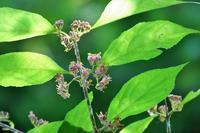 ムラサキシキブの花、イトトンボなど - ぶらり散歩 ~四季折々フォト日記~