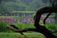 ハナショウブ☆紫色の美女群 - 夢・ファンダンゴ