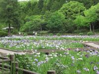 春日池へしょうぶを見に - はりねずみの日記帳