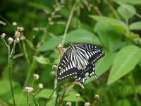 京都で撮影した蝶 - 風任せ自由人