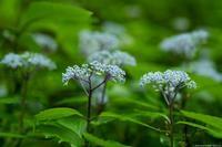 コアジサイの咲く里 - toshi の ならはまほろば